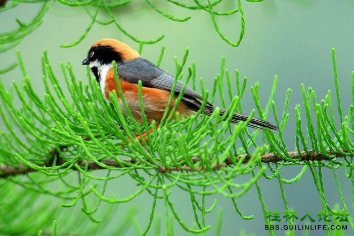 红头山雀 - 风姿摄影 - 桂林人论坛 做桂林人的网上家园