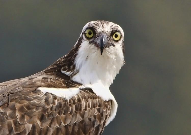 Osprey Up Close!! by quickeye : Weather Underground